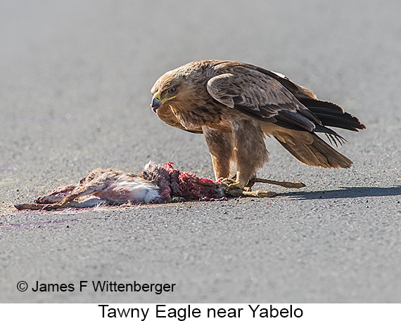 Tawny Eagle - © The Photographer and Exotic Birding LLC