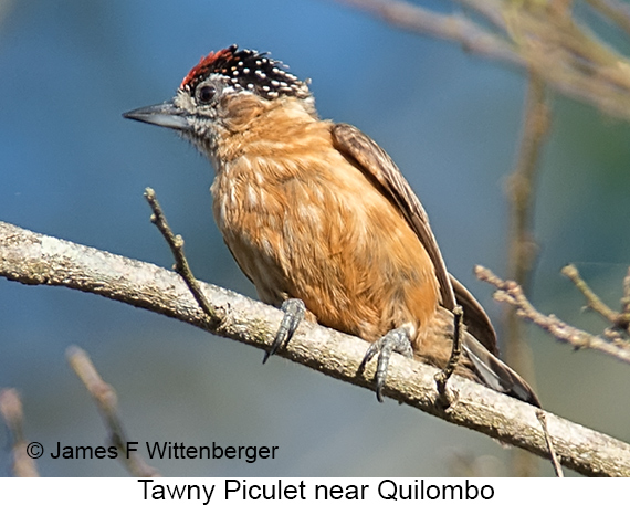 Tawny Piculet - © The Photographer and Exotic Birding LLC