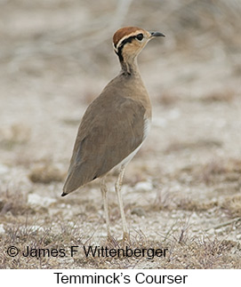 Temminck's Courser - © James F Wittenberger and Exotic Birding LLC