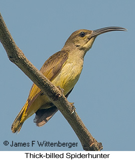 Thick-billed Spiderhunter - © James F Wittenberger and Exotic Birding Tours