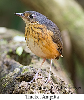 Thicket Antpitta - © James F Wittenberger and Exotic Birding Tours