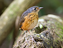 Thicket Antpitta - © James F Wittenberger and Exotic Birding LLC