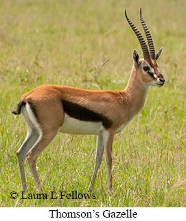 Thomson's Gazelle - © Laura L Fellows and Exotic Birding Tours