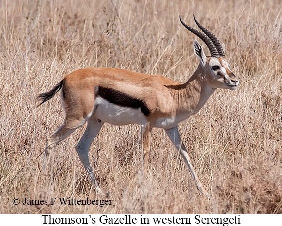Thomson's Gazelle - © James F Wittenberger and Exotic Birding Tours