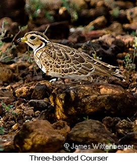 Three-banded Courser - © James F Wittenberger and Exotic Birding Tours