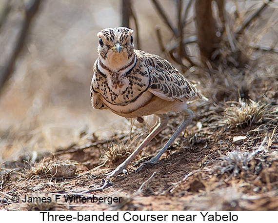 Three-banded Courser - © James F Wittenberger and Exotic Birding LLC