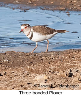 Three-banded Plover - © James F Wittenberger and Exotic Birding LLC