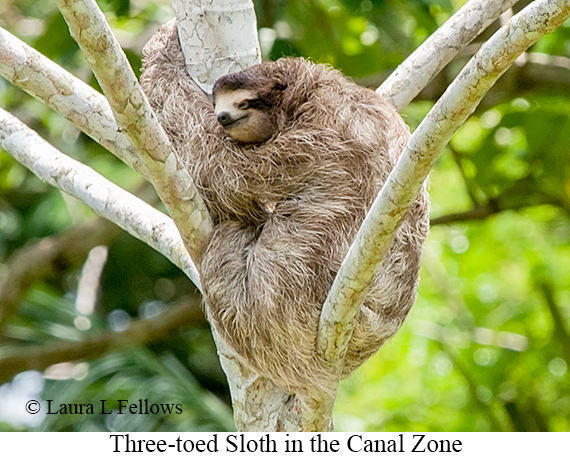 Three-toed Sloth - © Laura L Fellows and Exotic Birding Tours