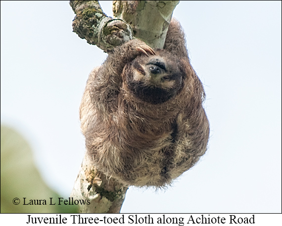 Three-toed Sloth Juv - © Laura L Fellows and Exotic Birding Tours