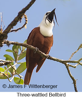 Three-wattled Bellbird - © James F Wittenberger and Exotic Birding LLC
