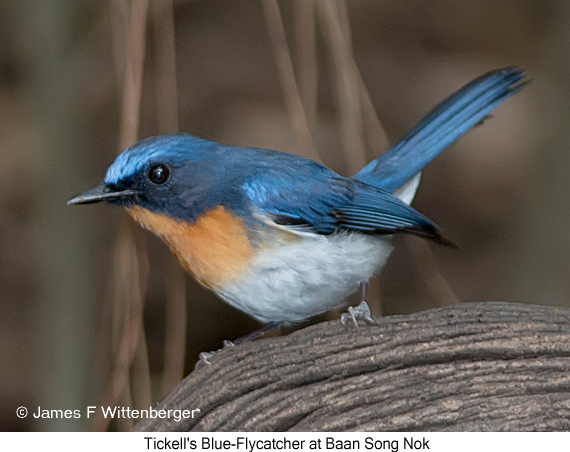 Tickell's Blue-Flycatcher - © James F Wittenberger and Exotic Birding Tours