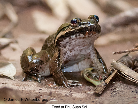 Toad - © James F Wittenberger and Exotic Birding Tours