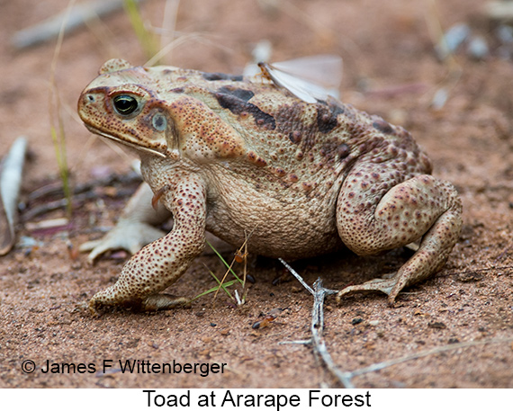 Toad - © Laura L Fellows and Exotic Birding Tours