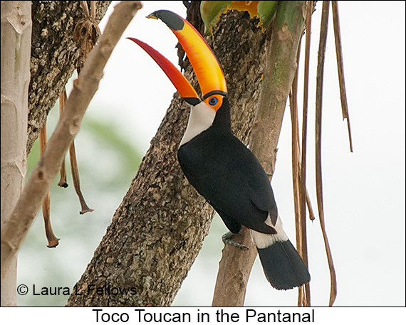 Toco Toucan - © Laura L Fellows and Exotic Birding LLC