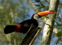 Toco Toucan - © The Photographer and Exotic Birding LLC