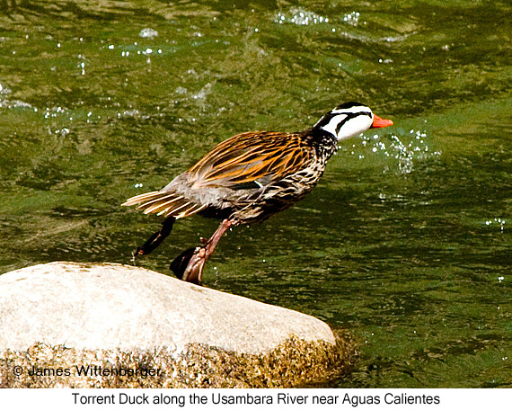 Torrent Duck - © James F Wittenberger and Exotic Birding Tours