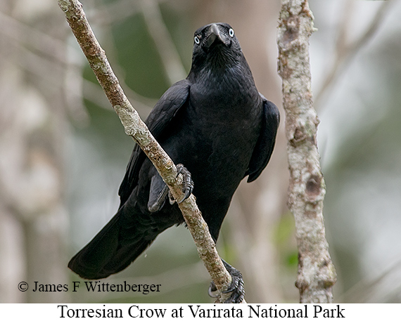 Torresian Crow - © James F Wittenberger and Exotic Birding LLC
