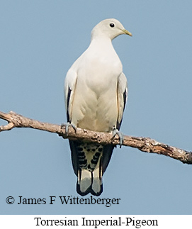Torresian Imperial-Pigeon - © James F Wittenberger and Exotic Birding LLC
