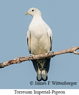 Torresian Imperial-Pigeon - © James F Wittenberger and Exotic Birding Tours