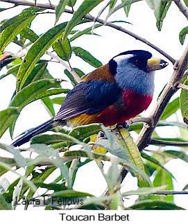 Toucan Barbet - © Laura L Fellows and Exotic Birding Tours