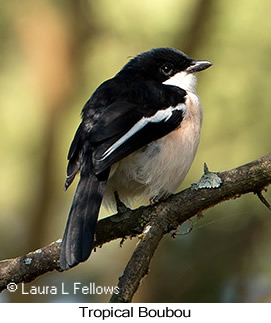 Tropical Boubou - © Laura L Fellows and Exotic Birding Tours