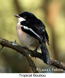 Tropical Boubou - © Laura L Fellows and Exotic Birding LLC