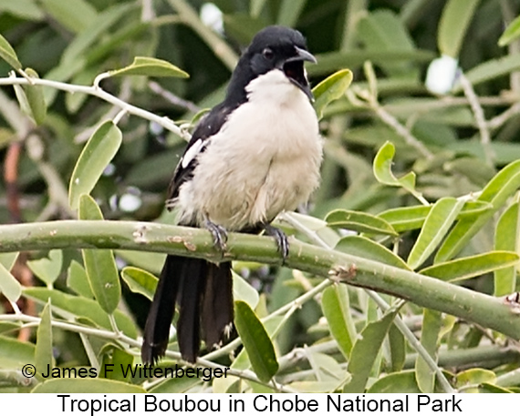 Tropical Boubou - © James F Wittenberger and Exotic Birding LLC