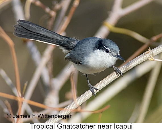 Tropical Gnatcatcher - © The Photographer and Exotic Birding LLC