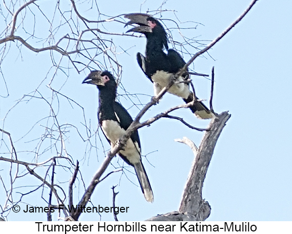 Trumpeter Hornbill - © The Photographer and Exotic Birding LLC