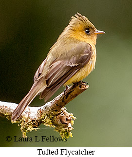 Tufted Flycatcher - © Laura L Fellows and Exotic Birding Tours