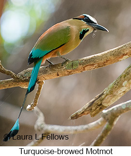 Turquoise-browed Motmot - © Laura L Fellows and Exotic Birding LLC