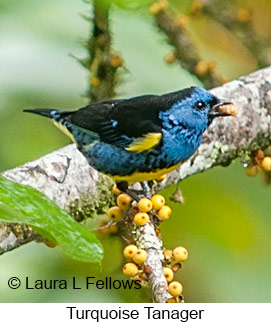 Turquoise Tanager - © Laura L Fellows and Exotic Birding LLC