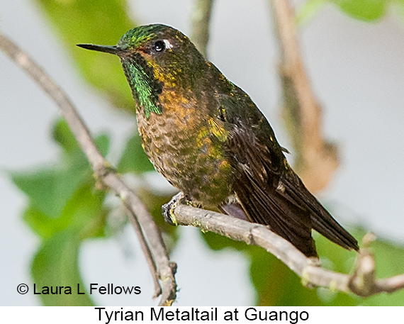 Tyrian Metaltail - © Laura L Fellows and Exotic Birding Tours