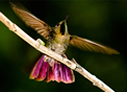 Tyrian Metaltail - © The Photographer and Exotic Birding LLC
