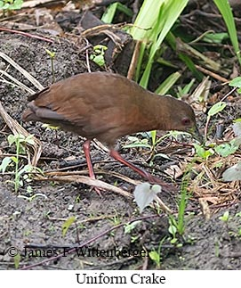 Uniform Crake - © James F Wittenberger and Exotic Birding Tours