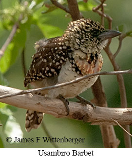 Usambiro Barbet - © James F Wittenberger and Exotic Birding LLC