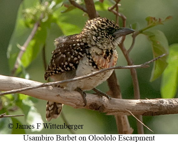 Usambiro Barbet - © James F Wittenberger and Exotic Birding Tours