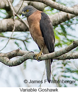Variable Goshawk - © James F Wittenberger and Exotic Birding Tours