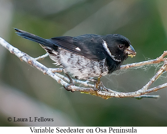Variable Seedeater - © The Photographer and Exotic Birding LLC