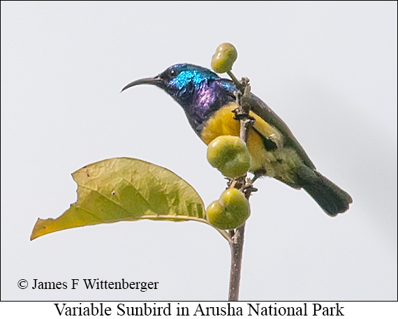 Variable Sunbird - © James F Wittenberger and Exotic Birding LLC