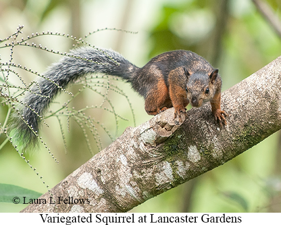 Variegated Squirrel - © Laura L Fellows and Exotic Birding Tours