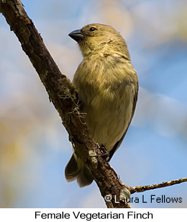 Vegetarian Finch - © Laura L Fellows and Exotic Birding Tours