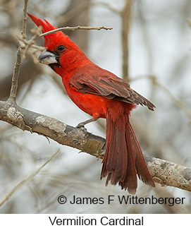 Vermilion Cardinal - © James F Wittenberger and Exotic Birding LLC