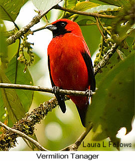 Vermilion Tanager - © Laura L Fellows and Exotic Birding Tours