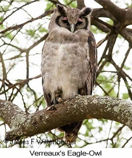 Verreaux's Eagle-Owl - © James F Wittenberger and Exotic Birding LLC