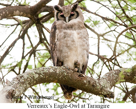 Verreaux's Eagle-Owl - © James F Wittenberger and Exotic Birding Tours
