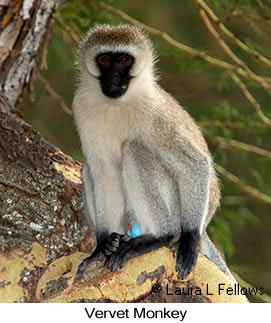 Vervet Monkey - © Laura L Fellows and Exotic Birding Tours