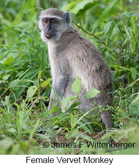 Vervet Monkey - © James F Wittenberger and Exotic Birding LLC