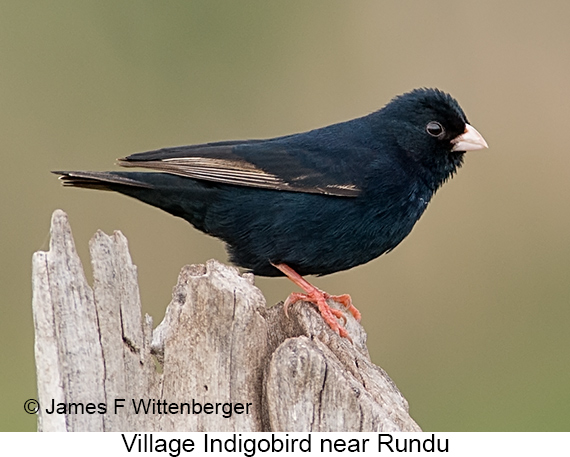 Village Indigobird - © James F Wittenberger and Exotic Birding LLC