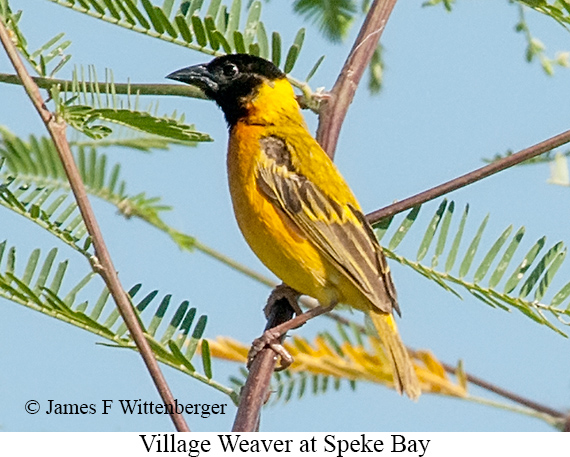 Village Weaver - © James F Wittenberger and Exotic Birding LLC